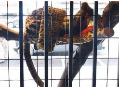 2008:10 - Original - The village pet store - Lepopard fur - Getty