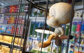 2008:10 - Original - The village pet store - Tweety - Getty